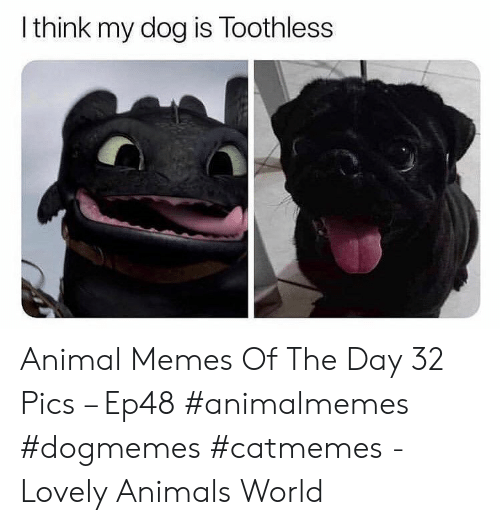 Animals, Memes, and Animal: I think my dog is Toothless Animal Memes Of The Day 32 Pics – Ep48 #animalmemes #dogmemes #catmemes - Lovely Animals World