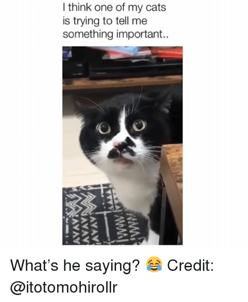Cats, Memes, and 🤖: I think one of my cats  is trying to tell me  something important.. What's he saying? 😂 Credit: @itotomohirollr