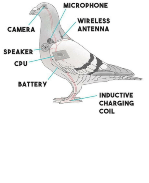 pigeons: I think that governments are quarantining us so they can switch the batteries in pigeons.
