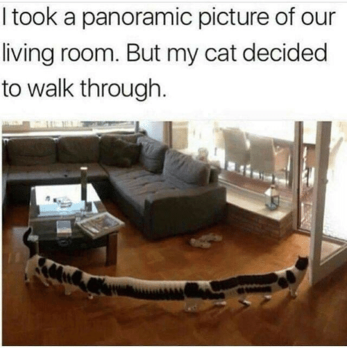 Living, Cat, and Picture: I took a panoramic picture of our  living room. But my cat decided  to walk through.