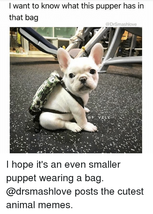 Memes, Animal, and Hope: I want to know what this pupper has in  that bag  @DrSmashlove I hope it's an even smaller puppet wearing a bag. @drsmashlove posts the cutest animal memes.