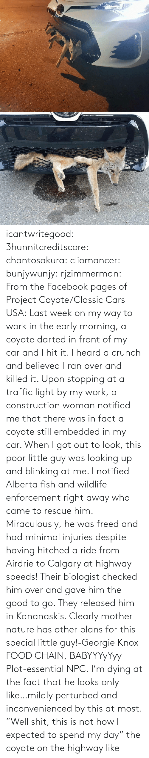 "That He: icantwritegood: 3hunnitcreditscore:  chantosakura:  cliomancer:  bunjywunjy:  rjzimmerman:  From the Facebook pages of Project Coyote/Classic Cars USA: Last week on my way to work in the early morning, a coyote darted in front of my car and I hit it. I heard a crunch and believed I ran over and killed it. Upon stopping at a traffic light by my work, a construction woman notified me that there was in fact a coyote still embedded in my car. When I got out to look, this poor little guy was looking up and blinking at me. I notified Alberta fish and wildlife enforcement right away who came to rescue him. Miraculously, he was freed and had minimal injuries despite having hitched a ride from Airdrie to Calgary at highway speeds! Their biologist checked him over and gave him the good to go. They released him in Kananaskis. Clearly mother nature has other plans for this special little guy!-Georgie Knox  FOOD CHAIN, BABYYYyYyy  Plot-essential NPC.   I'm dying at the fact that he looks only like…mildly perturbed and inconvenienced by this at most.    ""Well shit, this is not how I expected to spend my day""  the coyote on the highway like"