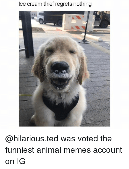 icee: Ice cream thief regrets nothing @hilarious.ted was voted the funniest animal memes account on IG