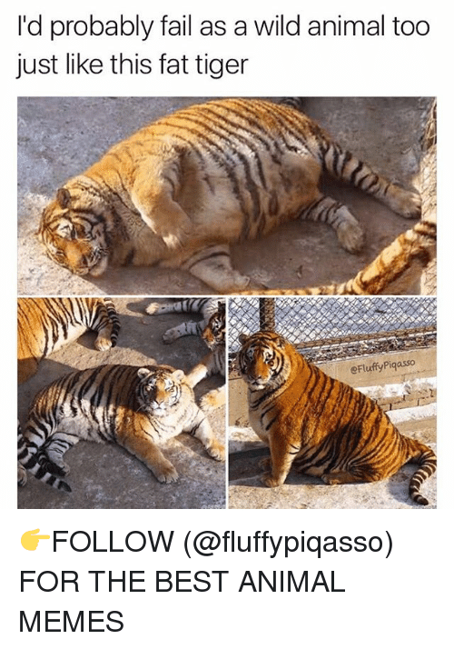 Memes, Tiger, and Tigers: I'd probably fail as a wild animal too  just like this fat tiger  eFluffyPiqasso 👉FOLLOW (@fluffypiqasso) FOR THE BEST ANIMAL MEMES