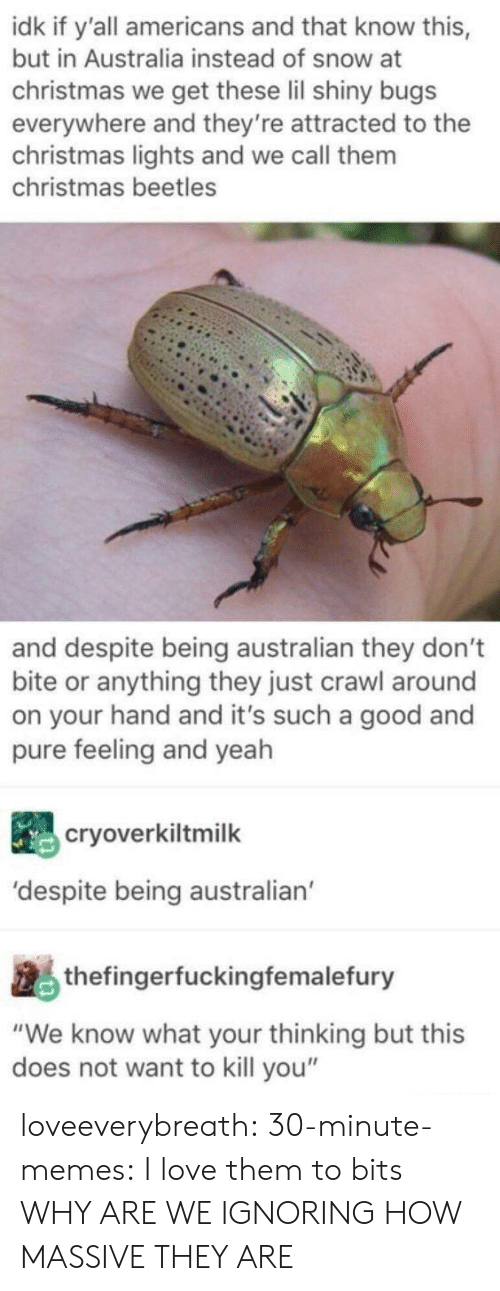 "Christmas, Love, and Memes: idk if y'all americans and that know this,  but in Australia instead of snow at  christmas we get these lil shiny bugs  everywhere and they're attracted to the  christmas lights and we call them  christmas beetles  and despite being australian they don't  bite or anything they just crawl around  on your hand and it's such a good and  pure feeling and yeah  cryoverkiltmilk  'despite being australian  thefingerfuckingfemalefury  ""We know what your thinking but this  does not want to kill you"" loveeverybreath:  30-minute-memes:  I love them to bits  WHY ARE WE IGNORING HOW MASSIVE THEY ARE"