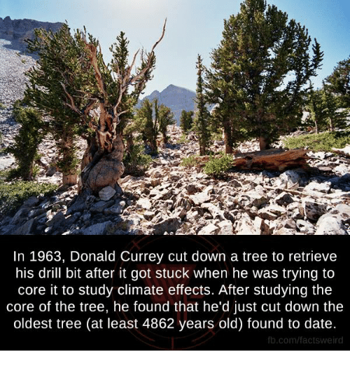 Memes, Tree, and Trees: In 1963, Donald Currey cut down a tree to retrieve  his drill bit after it got stuck when he was trying to  core it to study climate effects. After studying the  core of the tree, he found that he'd just cut down the  oldest tree (at least 4862 years old) found to date  fb.com/facts Weird