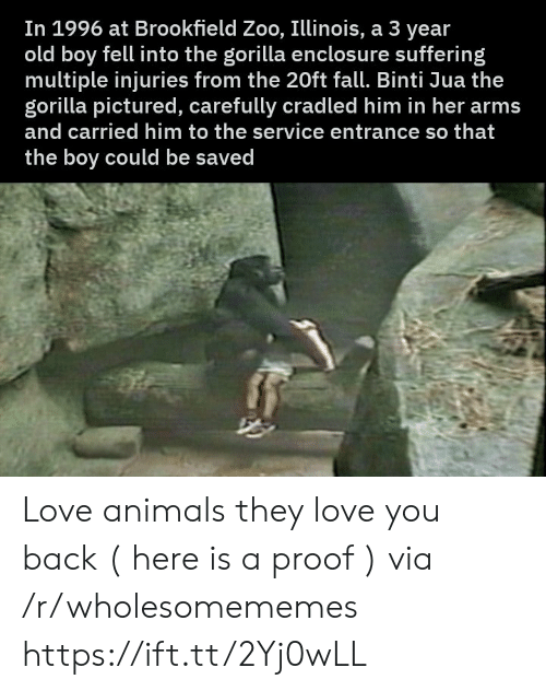 old boy: In 1996 at Brookfield Zoo, Illinois, a 3 year  old boy fell into the gorilla enclosu re suffering  multiple injuries from the 20ft fall. Binti Jua the  gorilla pictured, carefully cradled him in her arms  and carried him to the service entrance so that  the boy could be saved Love animals they love you back ( here is a proof ) via /r/wholesomememes https://ift.tt/2Yj0wLL