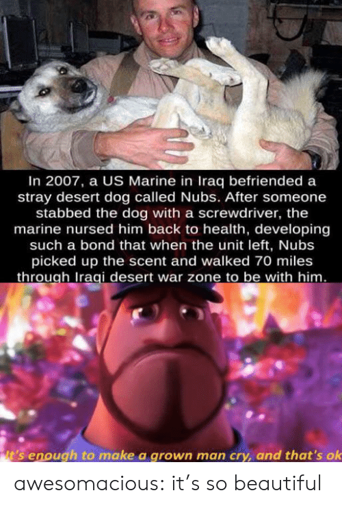 Beautiful, Tumblr, and Blog: In 2007, a US Marine in Iraq befriended a  stray desert dog called Nubs. After someone  stabbed the dog with a screwdriver, the  marine nursed him back to health, developing  such a bond that when the unit left, Nubs  picked up the scent and walked 70 miles  through Iraqi desert war zone to be with him.  it's enough to make a grown man cry, and that's ok awesomacious:  it's so beautiful