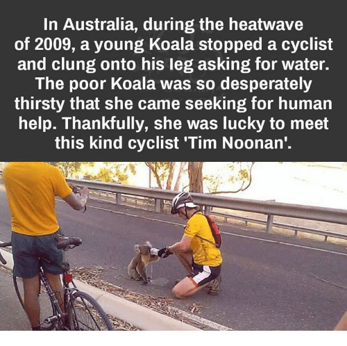 Thirsty, Australia, and Help: In Australia, during the heatwave  of 2009, a young Koala stopped a cyclist  and clung onto his leg asking for water.  The poor Koala was so desperately  thirsty that she came seeking for human  help. Thankfully, she was lucky to meet  this kind cyclist Tim Noonan'