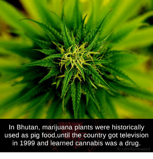 televisions: In Bhutan, marijuana plants were historically  used as pig food,until the country got television  in 1999 and learned cannabis was a drug.  fb.com/factsweird