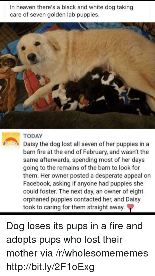 Desperate, Facebook, and Fire: In heaven there's a black and white dog taking  care of seven golden lab puppies.  TODAY  Daisy the dog lost all seven of her puppies ina  barn fire at the end of February, and wasn't the  same afterwards, spending most of her days  going to the remains of the barn to look for  them. Her owner posted a desperate appeal on  Facebook, asking if anyone had puppies she  could foster. The next day, an owner of eight  orphaned puppies contacted her, and Daisy  took to caring for them straight away. Dog loses its pups in a fire and adopts pups who lost their mother via /r/wholesomememes http://bit.ly/2F1oExg