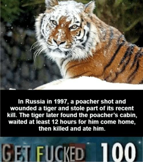 Home, Russia, and Tiger: In Russia in 1997, a poacher shot and  wounded a tiger and stole part of its recent  kill. The tiger later found the poacher's cabin,  waited at least 12 hours for him come home,  then killed and ate him.  GET FUCKED 100