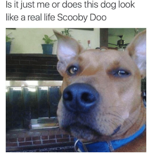 Life, Scooby Doo, and Dog: Is it just me or does this dog look  like a real life Scooby Doo