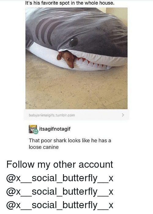 Memes, Tumblr, and Shark: It's his favorite spot in the whole house.  babyanimalgifs.tumblr.com  itsagifnotagif  That poor shark looks like he has a  loose canine Follow my other account @x__social_butterfly__x @x__social_butterfly__x @x__social_butterfly__x