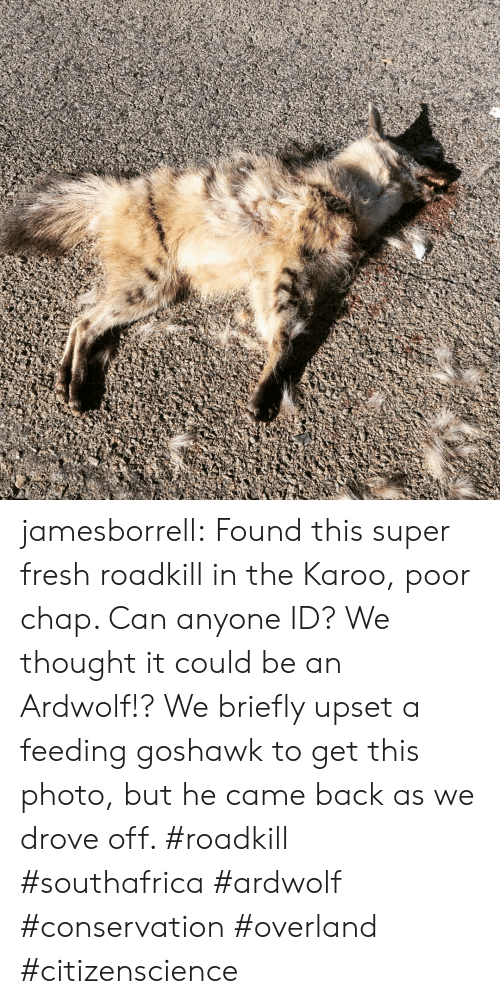 Fresh, Tumblr, and Blog: jamesborrell:  Found this super fresh roadkill in the Karoo, poor chap. Can anyone ID? We thought it could be an Ardwolf!?   We briefly upset a feeding goshawk to get this photo, but he came back as we drove off. #roadkill #southafrica #ardwolf #conservation #overland #citizenscience