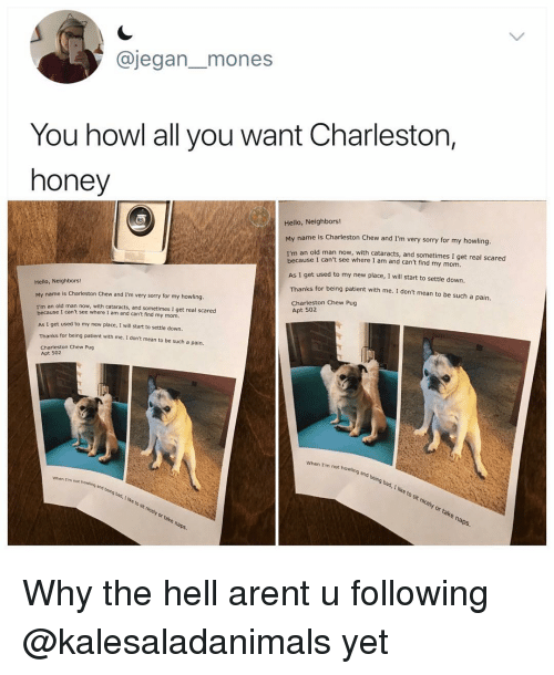 Bad, Hello, and Memes: @jegan_mones  You howl all you want Charleston,  honey  Hello, Neighbors!  name is Charleston Chew and I'm very sorry for my howling.  My  I'm an old man now, with cataracts, and sometimes I get real scared  because  I can't see where I am and can't find my mom.  AS I get used to my new place, I will start to settle down.  Thanks for being patient with me. 1 don't mean to be such a pain.  Hello, Neighbors!  Charleston Chew Pug  Apt 502  is Charleston Chew and I'm very sorry for my howling.  My name  I'm an old man now with caar acts; and sometimes I get real scared  an old man now, with cataracts, and sometimes I get real scared  AS I get used to my new place, I will start to settle down.  Thanks for being patient with me. I dont mean to be such a pain.  Charleston Chew Pug  Apt 502  when I'm not howling  and being  being  bad, I like to sit nicely or take naps.  when I'm not howling  and being bad, I like to sit nicely or take naps.  being Why the hell arent u following @kalesaladanimals yet