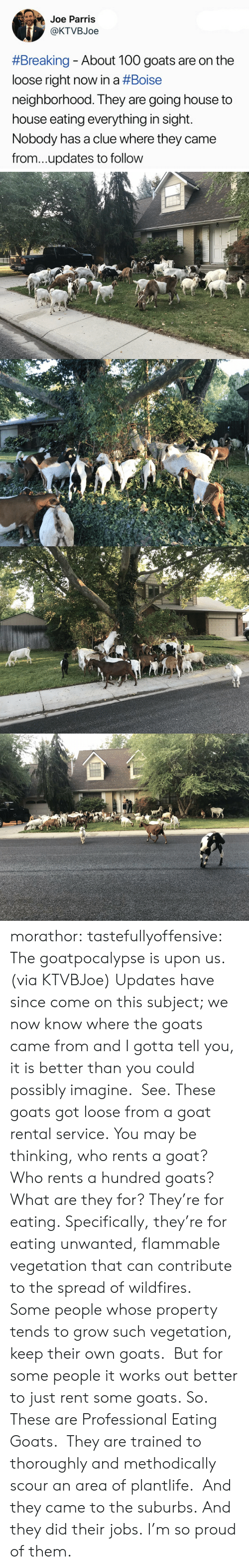 Tumblr, Twitter, and Goat: Joe Parris  @KTVBJoe  #Breaking-About 100 goats are on the  loose right now in a #Boise  neighborhood. They are going house to  house eating everything in sight.  Nobody has a clue where they came  from...updates to follow morathor: tastefullyoffensive: The goatpocalypse is upon us. (via KTVBJoe) Updates have since come on this subject; we now know where the goats came from and I gotta tell you, it is better than you could possibly imagine. See. These goats got loose from a goat rental service. You may be thinking, who rents a goat? Who rents a hundred goats? What are they for? They're for eating. Specifically, they're for eating unwanted, flammable vegetation that can contribute to the spread of wildfires. Some people whose property tends to grow such vegetation, keep their own goats. But for some people it works out better to just rent some goats. So. These are Professional Eating Goats. They are trained to thoroughly and methodically scour an area of plantlife. And they came to the suburbs. And they did their jobs. I'm so proud of them.