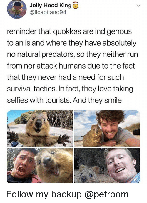 Funny, Love, and Run: Jolly Hood King  @lcapitano94  reminder that quokkas are indigenous  to an island where they have absolutely  no natural predators, so they neither run  from nor attack humans due to the fact  that they never had a need for such  survival tactics. In fact, they love taking  selfies with tourists. And they smile Follow my backup @petroom