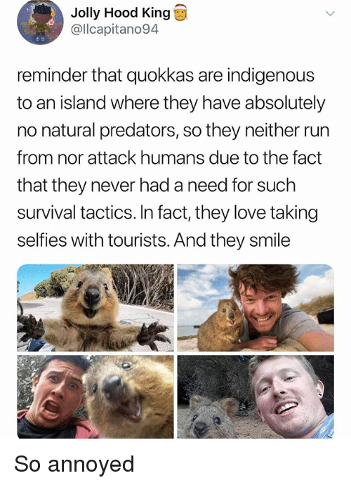 indigenous: Jolly Hood King  @llcapitano94  reminder that quokkas are indigenous  to an island where they have absolutely  no natural predators, so they neither run  from nor attack humans due to the fact  that they never had a need for such  survival tactics. In fact, they love taking  selfies with tourists. And they smile So annoyed