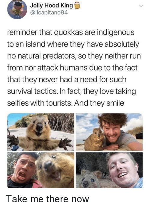 Love, Run, and Smile: Jolly Hood King  @llcapitano94  reminder that quokkas are indigenous  to an island where they have absolutely  no natural predators, so they neither run  from nor attack humans due to the fact  that they never had a need for such  survival tactics. In fact, they love taking  selfies with tourists. And they smile Take me there now