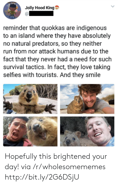 indigenous: Jolly Hood King  reminder that quokkas are indigenous  to an island where they have absolutely  no natural predators, so they neither  run from nor attack humans due to the  fact that they never had a need for such  survival tactics. In fact, they love taking  selfies with tourists. And they smile Hopefully this brightened your day! via /r/wholesomememes http://bit.ly/2G6DSjU