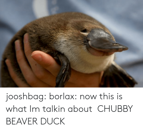 Tumblr, Blog, and Duck: jooshbag: borlax:  now this is what Im talkin about   CHUBBY BEAVER DUCK