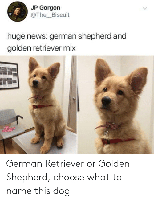 News, German Shepherd, and Golden Retriever: JP Gorgon  @The_Biscuit  huge news: german shepherd and  golden retriever mix German Retriever or Golden Shepherd, choose what to name this dog