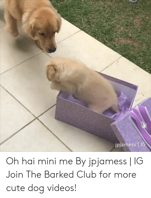 Club, Cute, and Dank: jpjamess   IG Oh hai mini me By jpjamess   IG  Join The Barked Club for more cute dog videos!