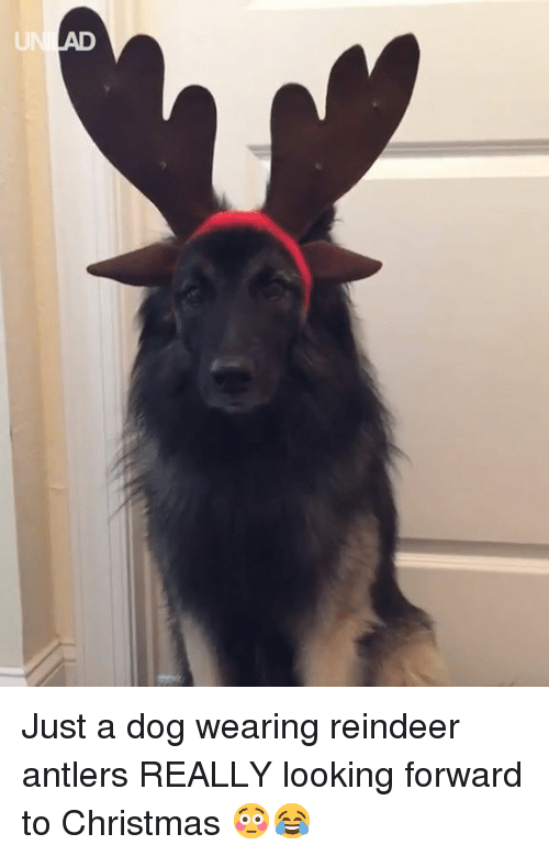 reindeer: Just a dog wearing reindeer antlers REALLY looking forward to Christmas 😳😂