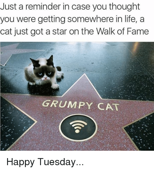 Grumpy Cats: Just a reminder in case you thought  you were getting somewhere in life, a  cat just got a star on the Walk of Fame  GRUMPY CAT Happy Tuesday...