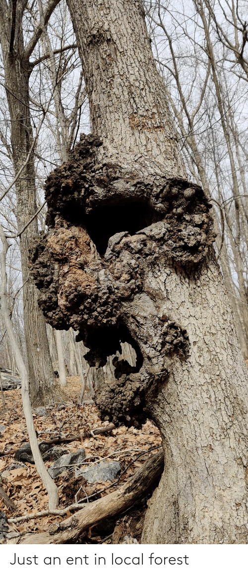 ent: Just an ent in local forest