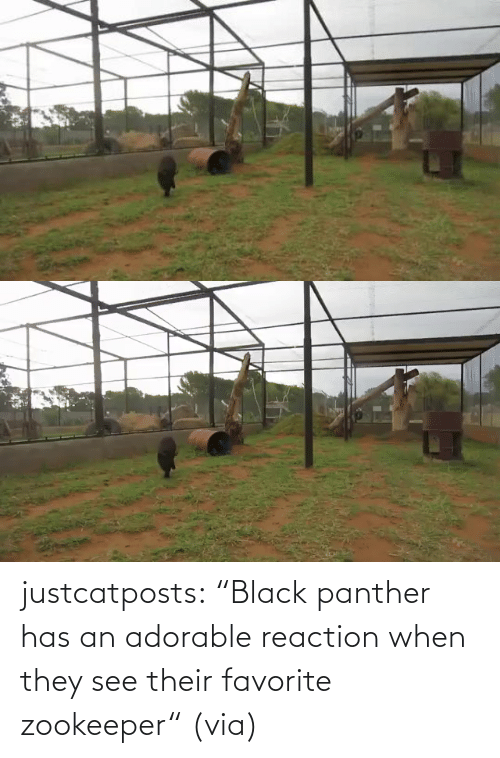 "post: justcatposts:  ""Black panther has an adorable reaction when they see their favorite zookeeper"" (via)"