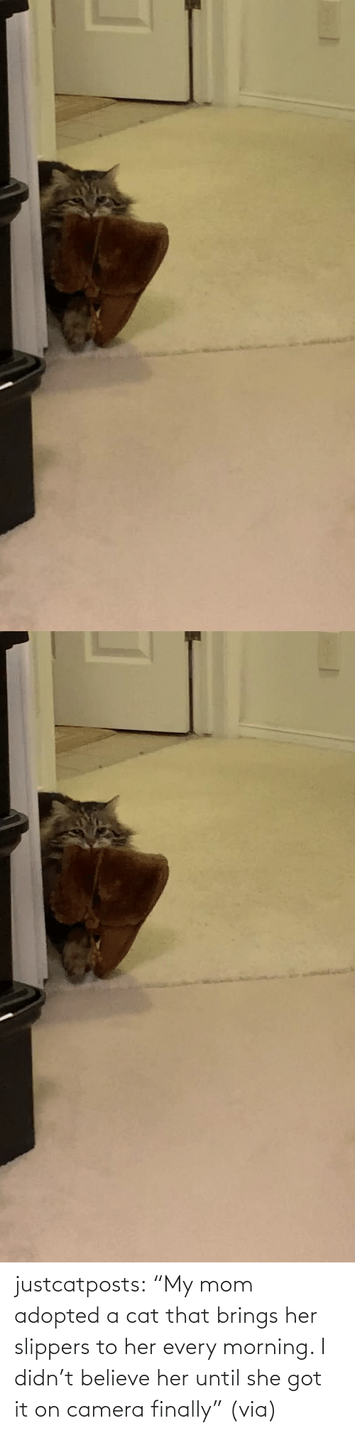 "a cat: justcatposts:  ""My mom adopted a cat that brings her slippers to her every morning. I didn't believe her until she got it on camera finally"" (via)"
