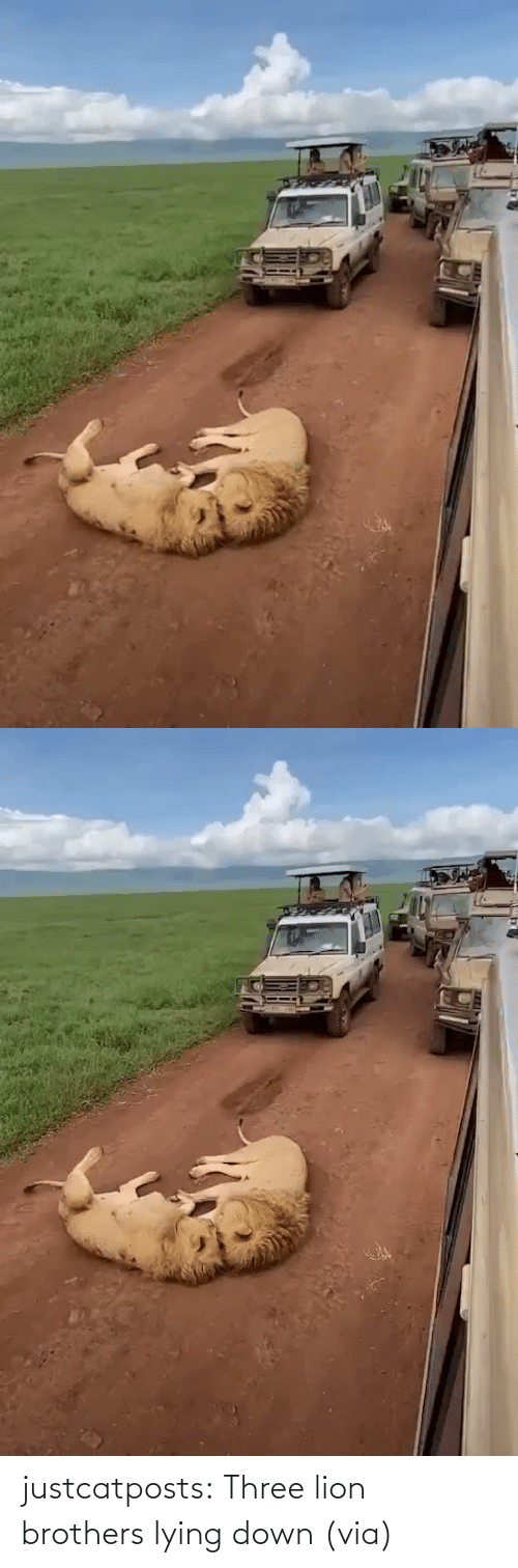 brothers: justcatposts:  Three lion brothers lying down (via)
