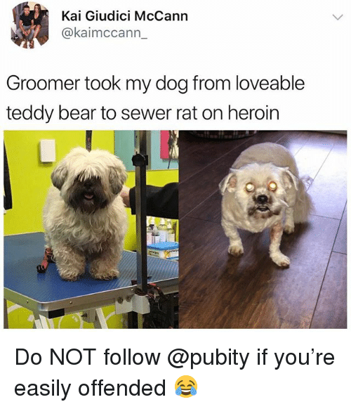 Heroin, Bear, and British: Kai Giudici McCann  @kaimccann_  Groomer took my dog from loveable  teddy bear to sewer rat on heroin Do NOT follow @pubity if you're easily offended 😂