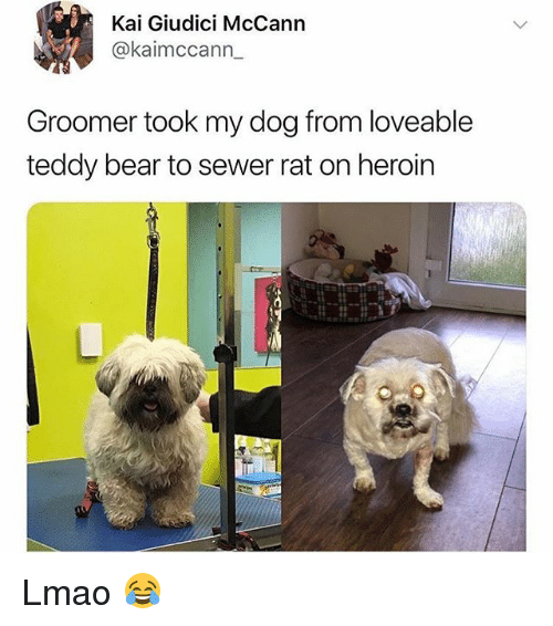 Funny, Heroin, and Lmao: Kai Giudici McCann  @kaimccann  Groomer took my dog from loveable  teddy bear to sewer rat on heroin Lmao 😂