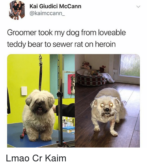 Heroin, Lmao, and Memes: Kai Giudici McCann  @kaimccann  Groomer took my dog from loveable  teddy bear to sewer rat on heroin Lmao Cr Kaim