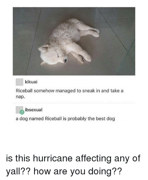 Memes, Best, and Hurricane: kikuai  Riceball somehow managed to sneak in and take a  nap.  ibsexual  a dog named Riceball is probably the best dog is this hurricane affecting any of yall?? how are you doing??