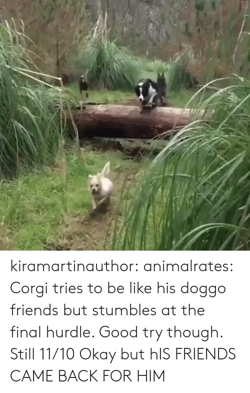 Be Like, Corgi, and Friends: kiramartinauthor:  animalrates: Corgi tries to be like his doggo friends but stumbles at the final hurdle. Good try though. Still 11/10  Okay but hIS FRIENDS CAME BACK FOR HIM