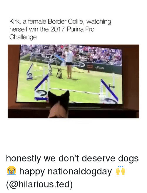 Dogs, Memes, and Ted: Kirk, a female Border Colie, watching  herself win the 2017 Purina Pro  Challenge honestly we don't deserve dogs 😭 happy nationaldogday 🙌(@hilarious.ted)