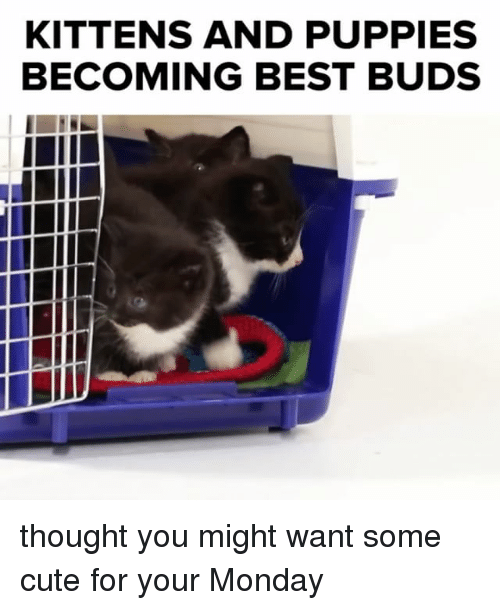Cute, Memes, and Puppies: KITTENS AND PUPPIES  BECOMING BEST BUDS thought you might want some cute for your Monday