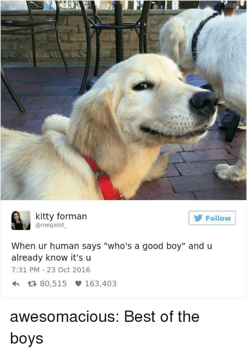 """Tumblr, Best, and Blog: kitty forman  @megalot  Follow  When ur human says """"who's a good boy"""" and u  already know it'su  7:31 PM 23 Oct 2016  h 80,515 163,403 awesomacious:  Best of the boys"""