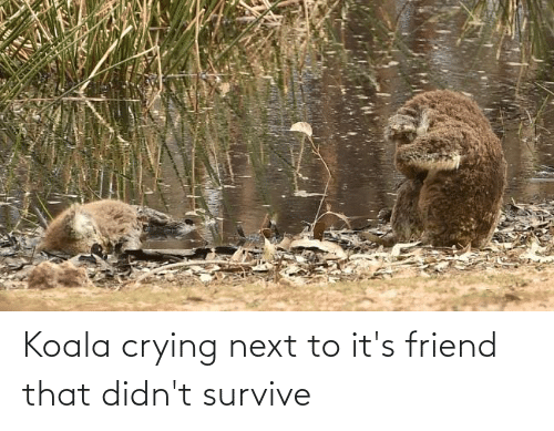 Next To: Koala crying next to it's friend that didn't survive