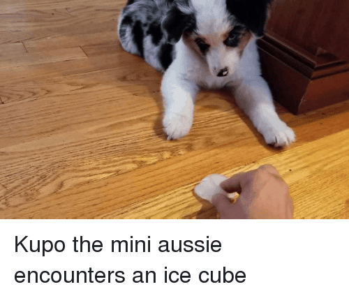 Ice Cube, Aussie, and Mini: Kupo the mini aussie encounters an ice cube