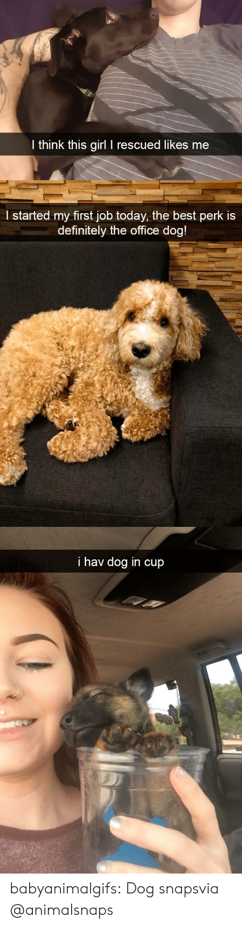 Definitely, The Office, and Tumblr: l think this girl I rescued likes me   l started my first job today, the best perk is  definitely the office doa   i hav dog in cup babyanimalgifs:  Dog snapsvia @animalsnaps