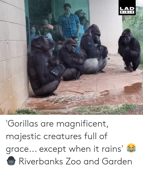 Magnificent: LAD  BIBL E 'Gorillas are magnificent, majestic creatures full of grace... except when it rains' 😂🦍  Riverbanks Zoo and Garden