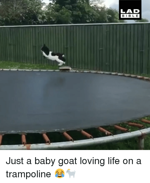Life, Memes, and Goat: LAD  BIBL E Just a baby goat loving life on a trampoline 😂🐐