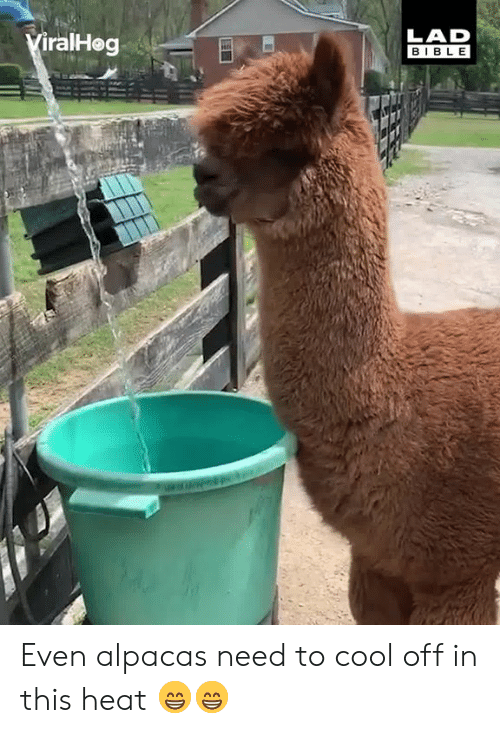 Dank, Bible, and Cool: LAD  BIBLE  iralHog Even alpacas need to cool off in this heat 😁😁