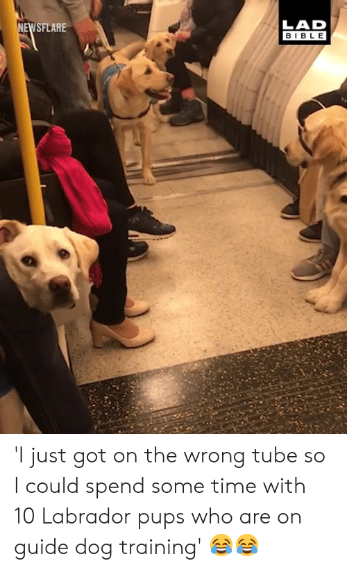 Dank, Bible, and Time: LAD  BIBLE  SFLARE 'I just got on the wrong tube so I could spend some time with 10 Labrador pups who are on guide dog training' 😂😂