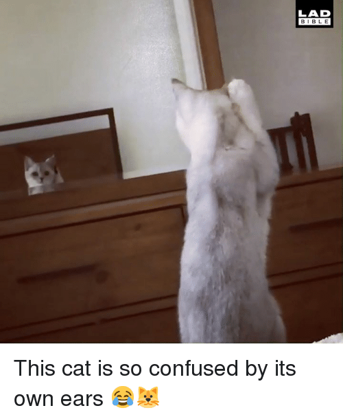Confused, Dank, and Bible: LAD  BIBLE This cat is so confused by its own ears 😂🐱
